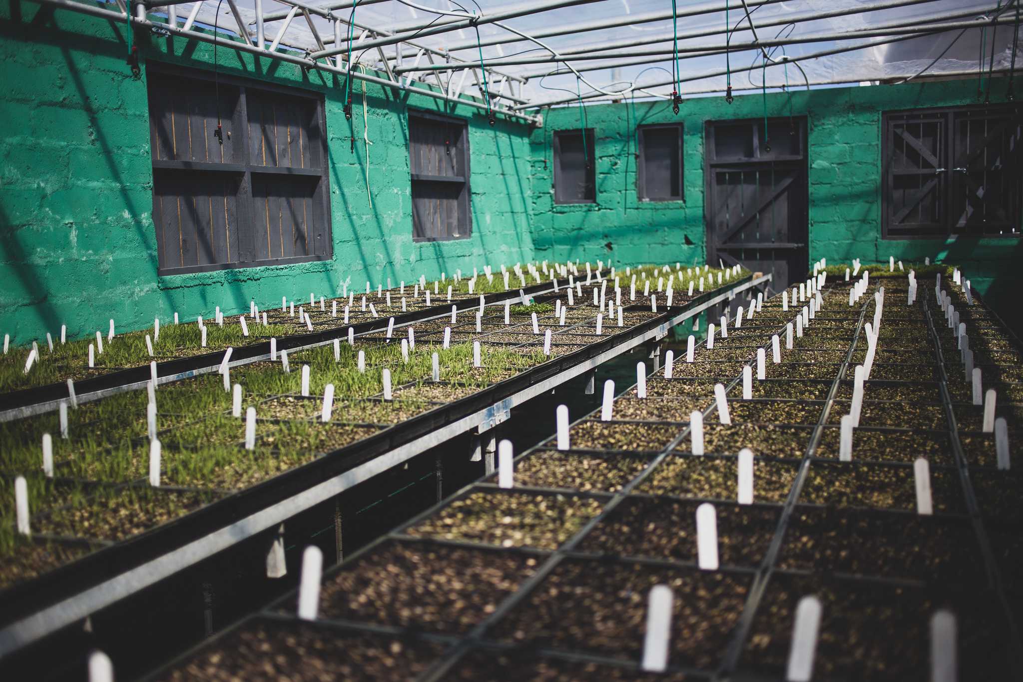 4. Germination - Once sown, our trays sit in the prop shed under an irrigation system to germinate