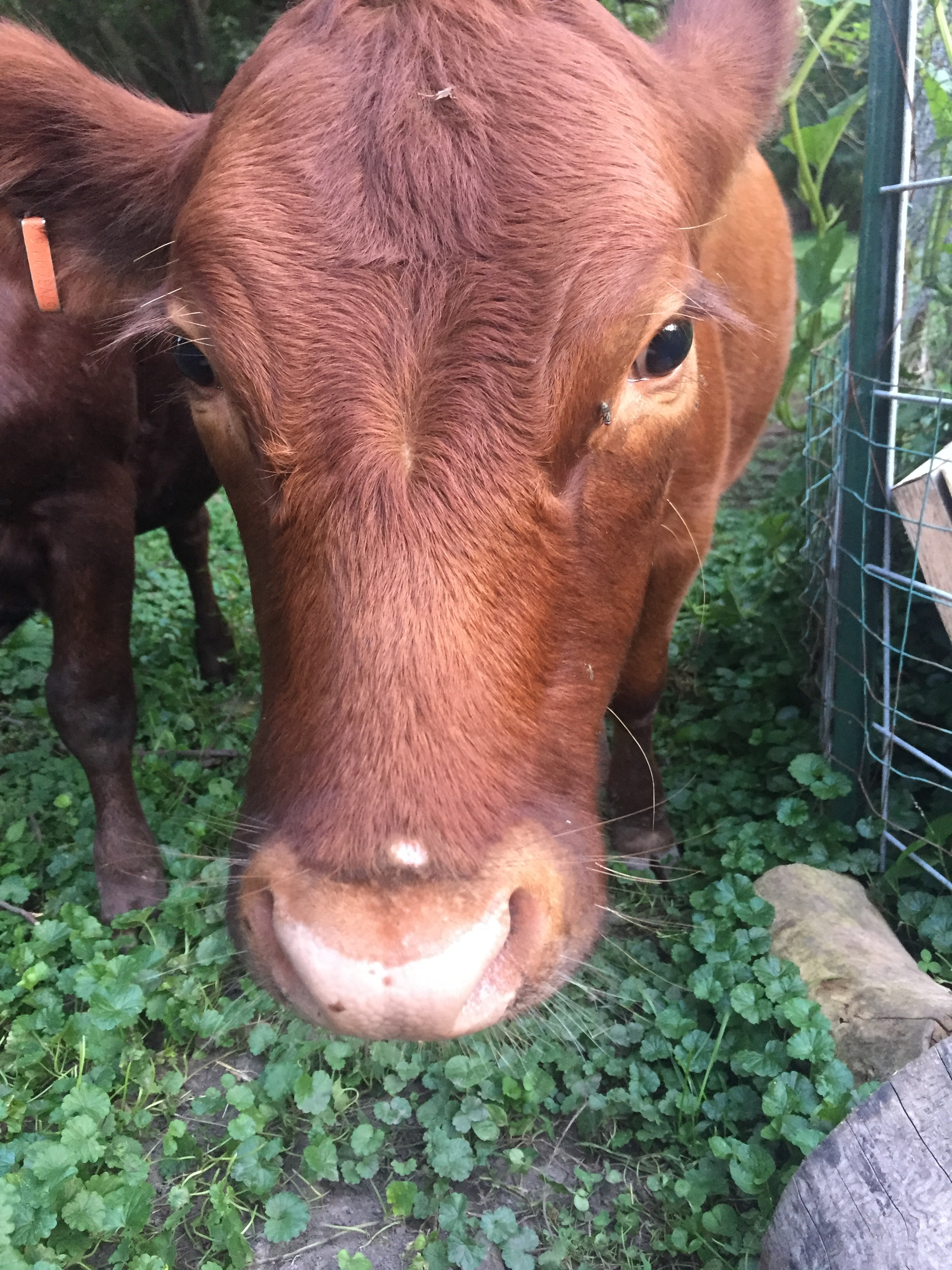 This week, - as it came time to milk Joy, our cow,I found myself grumbling at the prospect. Having to go outside into   the cold, milk,before milking cleaning/sanitizing, after milking cleaning/sanitizing,and then deciding that to make with the milk. Ugh!