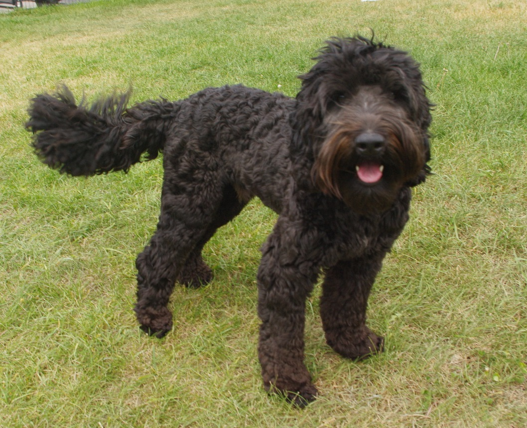 Chase Creek Jag - 2020 litters sireJag is my proven stud boy. He is a classic Australian Labradoodle: temperament, conformation, coat. He is the son of my now-retired Astraea and Nate. Jag is athletic, loving and smart. He has done some agility and lives for retrieving the ball.