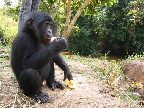 Bonobos   photo credit: Radio Okapi, 2004. ( Flickr )