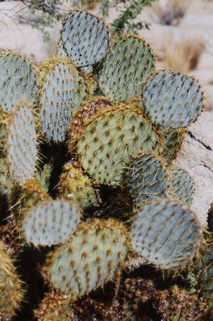 cactus oil benefits