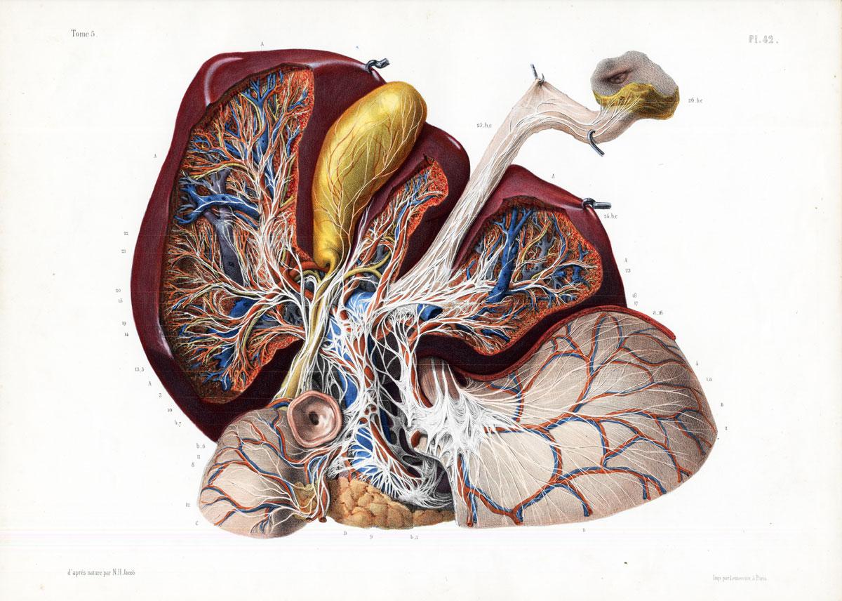 Cholesterol - Heart arteries.jpg
