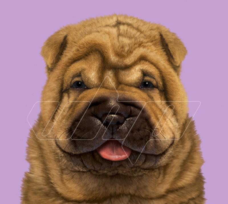 A-029 Shar Pei Puppy Portrait.jpg
