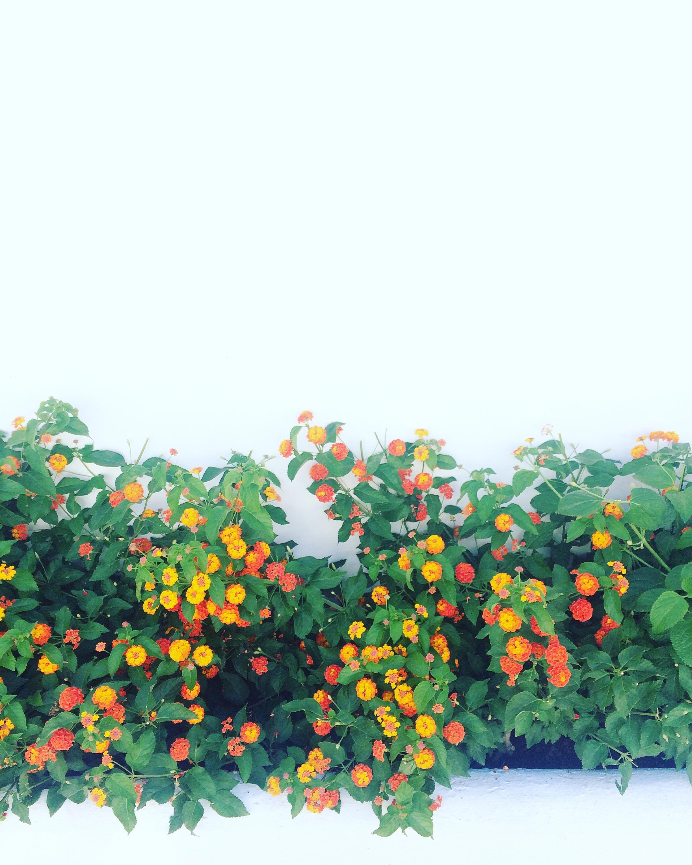 Beautiful Mediterranean flowers in  Marbella, Spain