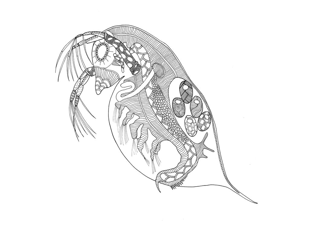 Daphnia are tiny aquatic crustaceans that float in the water column. Found in a range of watery environments, they are sometimes called water fleas.(Jennifer Delaney)