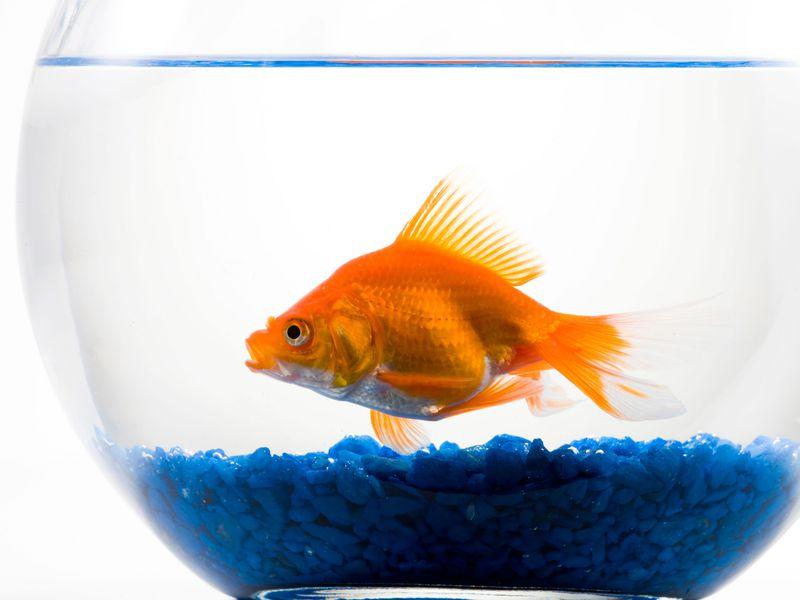 No ornamental fish antibiotics are regulated by the FDA.(RubberBall / Alamy )