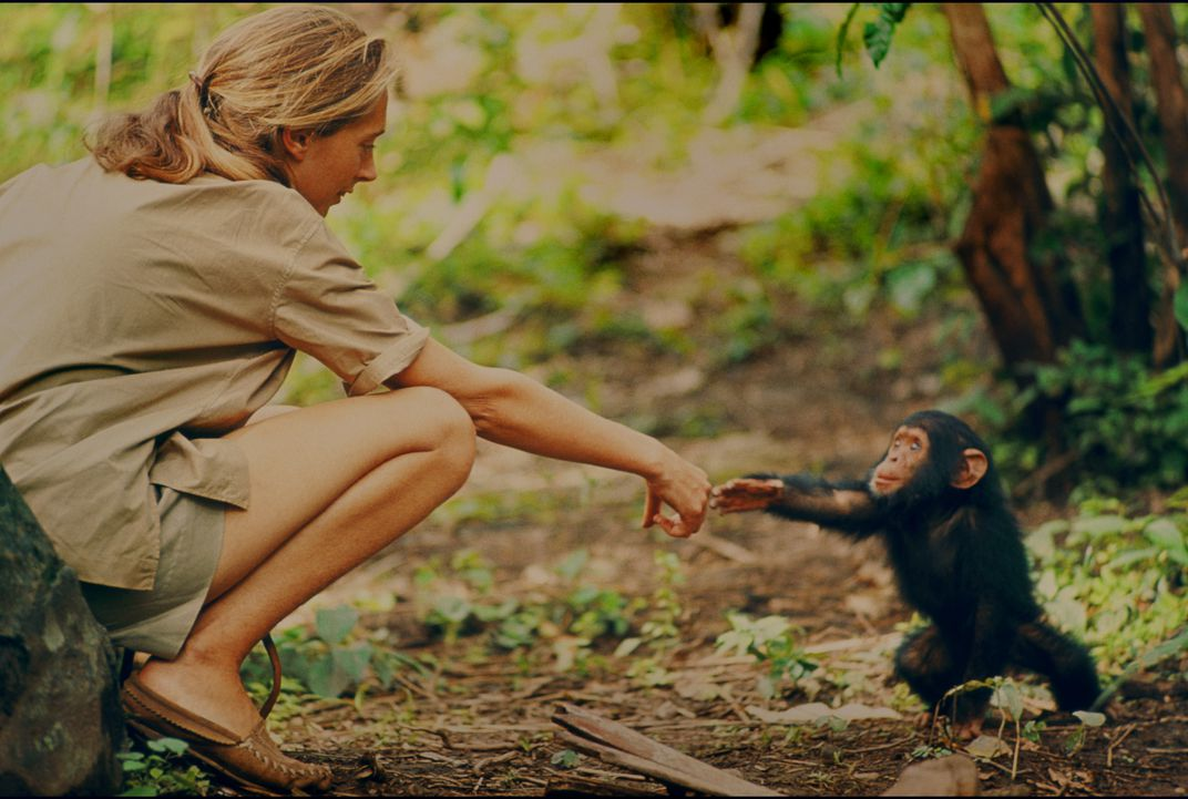 Jane Goodall reaches out to touch hands with Flint, the first infant born at Gombe after her arrival. (National Geographic Creative/Hugo van Lawick)