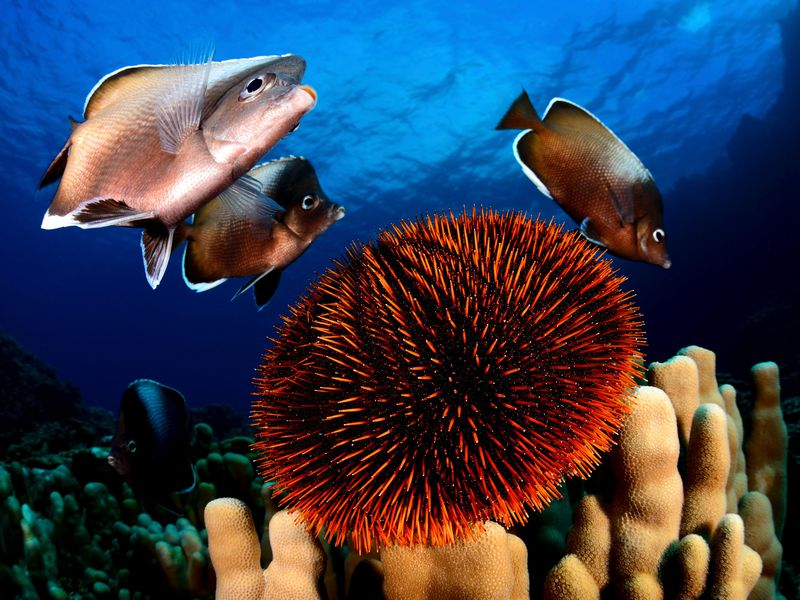 Easter Island is home to at least 142 endemic species, including the Easter Island butterfly fish.(Eduardo Sorensen/The Pew Charitable Trusts)