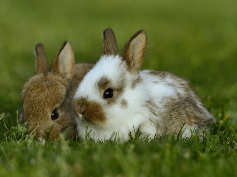 It turns out the story of the domesticated bunny is a lot fuzzier than the legends tell it.(blickwinkel / Alamy )