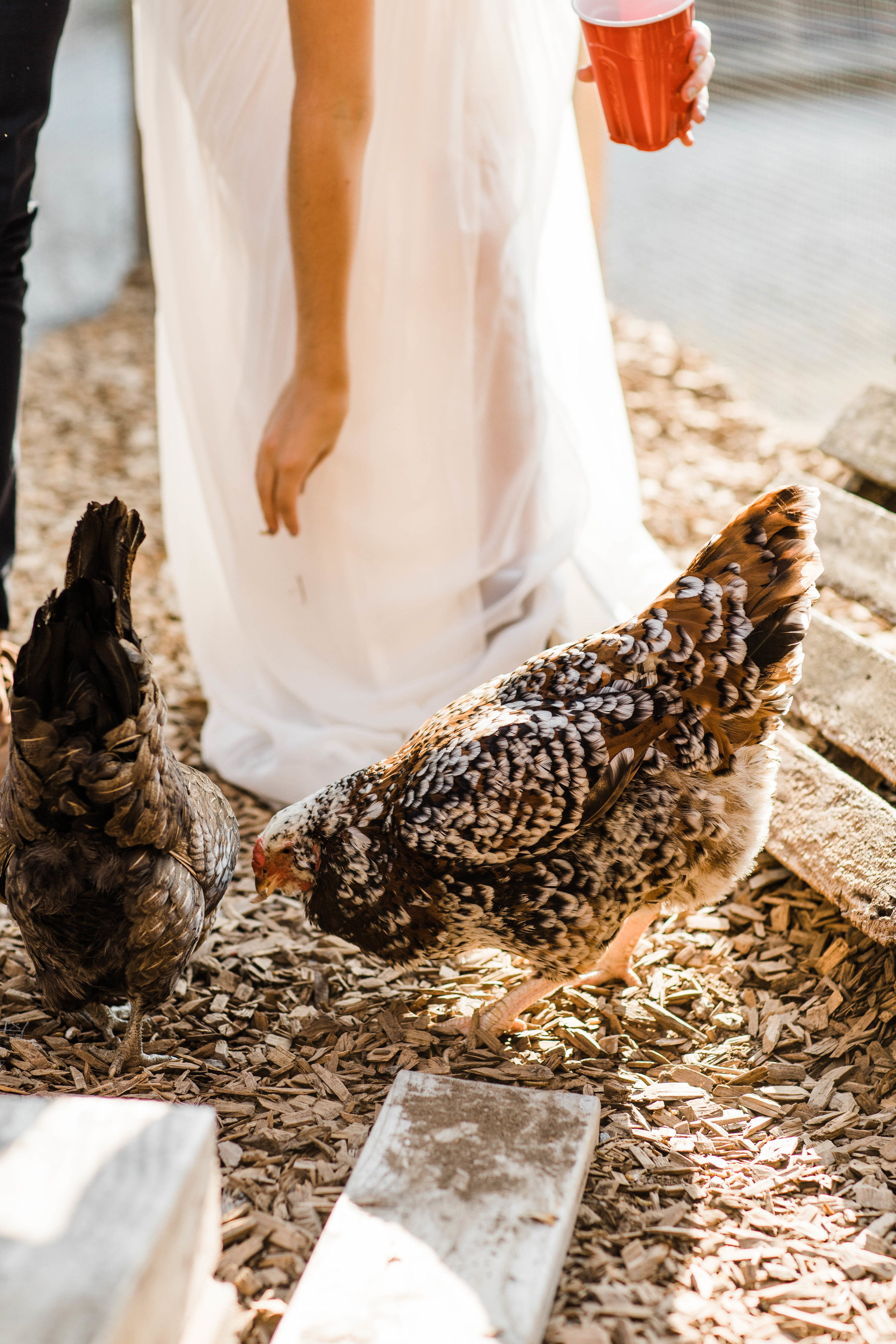 couple feeding the chickens at Humble Pie in Seattle Washington after their Mt Rainier elopement | adventure wedding photographers in Washington state