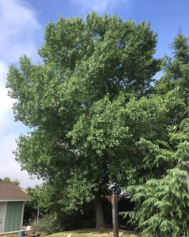 "So we have to take down this majestic beast today. I planted it 10 years ago when it was only 8"" around and  8' tall. Unfortunately it is pretty invasive. The roots are above ground, getting into my sewer line, growing suckers in mine and the neighbors yard and may fall over one day due to heavy winds. I hate to cut it down but seems I have to. Wish me luck with the chain saw!"