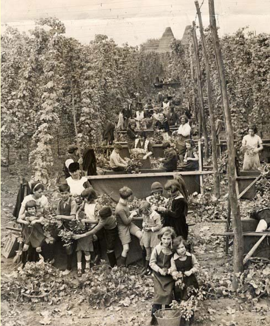 History - In much of the 1800s, hops were one of Vermont's largest agricultural crops. The state of Vermont was the second largest producer of hops in the U.S. after New York. According to the agricultural census of 1860, Vermont's biggest hop production year, the state produced 638,657 pounds of hops. To put that in perspective, it would take 372 acres in production at today's yields to produce that quantity of hops. Hop growers in Vermont were forced to wind down their operations due to prohibition, and without modern-day knowledge of pest management, farmers also struggled with plant disease. After prohibition, the industry re-established itself in the Pacific Northwest, and hops have just come back to the region in the past decade. We are excited to be a part of the re-emergence of Vermont's hop industry! You can find these facts and much more information on the history of our state's hops and beer industry in Vermont Beer: History of a Brewing Revolution by Kurt Staudter and Adam Krakowski.