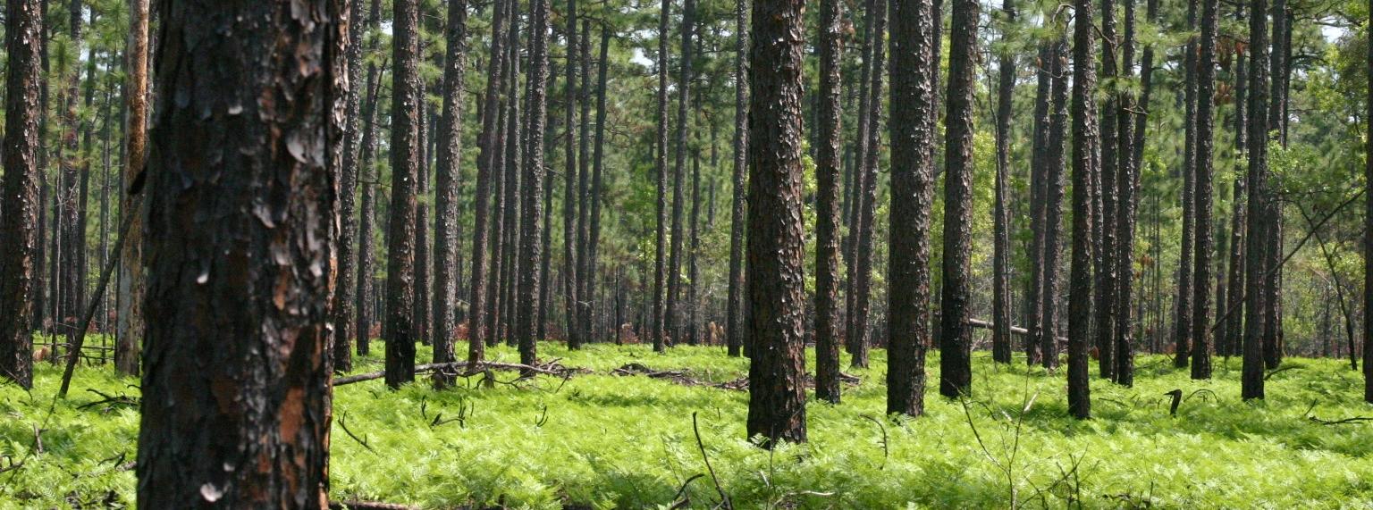 mature pine stand.JPG