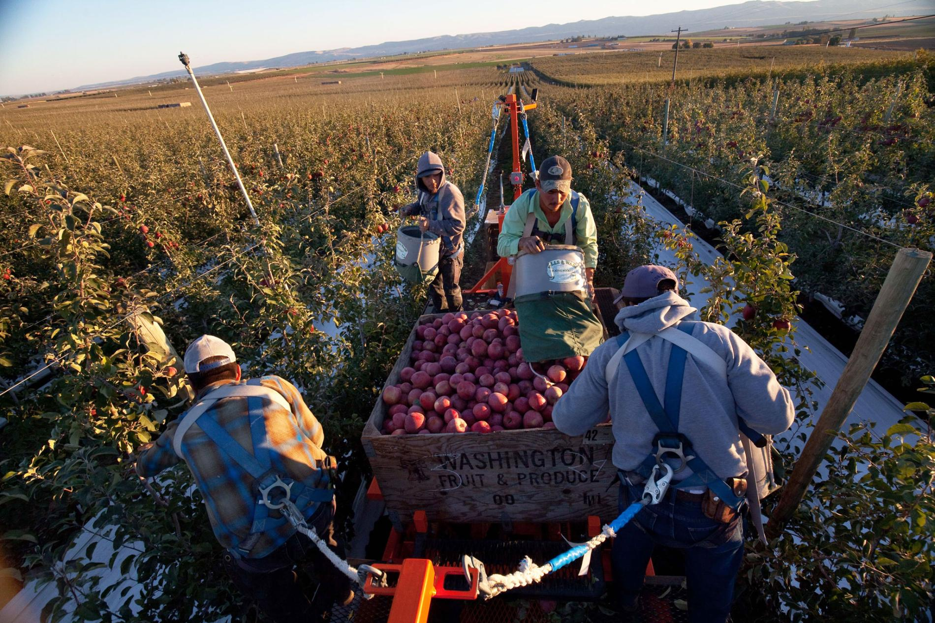 2 Related Stories To See Food Waste in a New Way, Start With Your Plate How to Farm a Forest—and Feed a Neighborhood Climate Change Resilience May Mean Planting More Trees Picture of workers picking apples View Images Workers stand on a hydraulic lift to pick fruit from the tips of trees. The lifts are equipped with floodlights to allow for night harvesting, so fruit can be picked at peak quality. Photograph by Ryan Bell