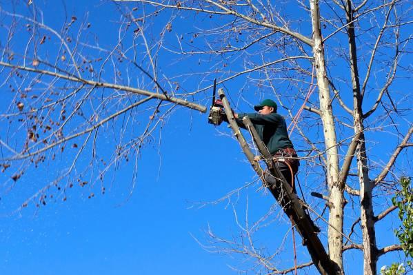tree-trimming-santa-barbara.jpg