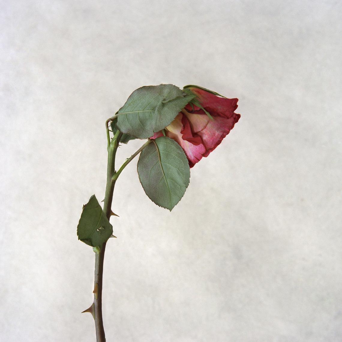 ROSE NO. 1