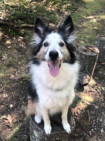 Skeeter Sheltie and Kate Bigger- reactive dog training