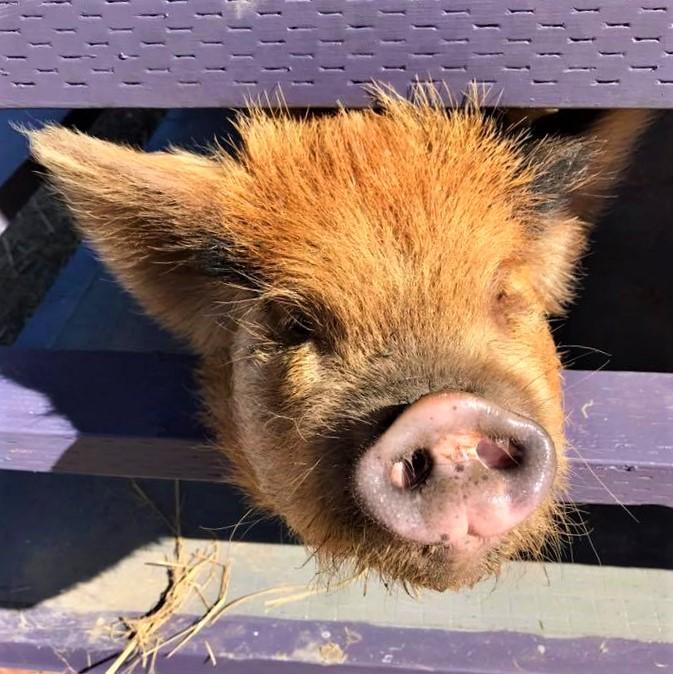 Best positive reinforcement pig training in Woodland Hills, Westlake Villege, San Fernando Valley, and Ventura County.