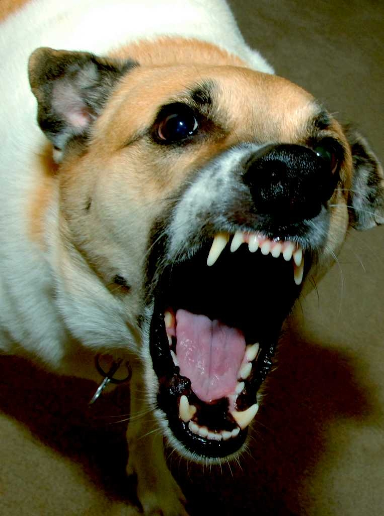 dog aggression and grinding down canine teeth