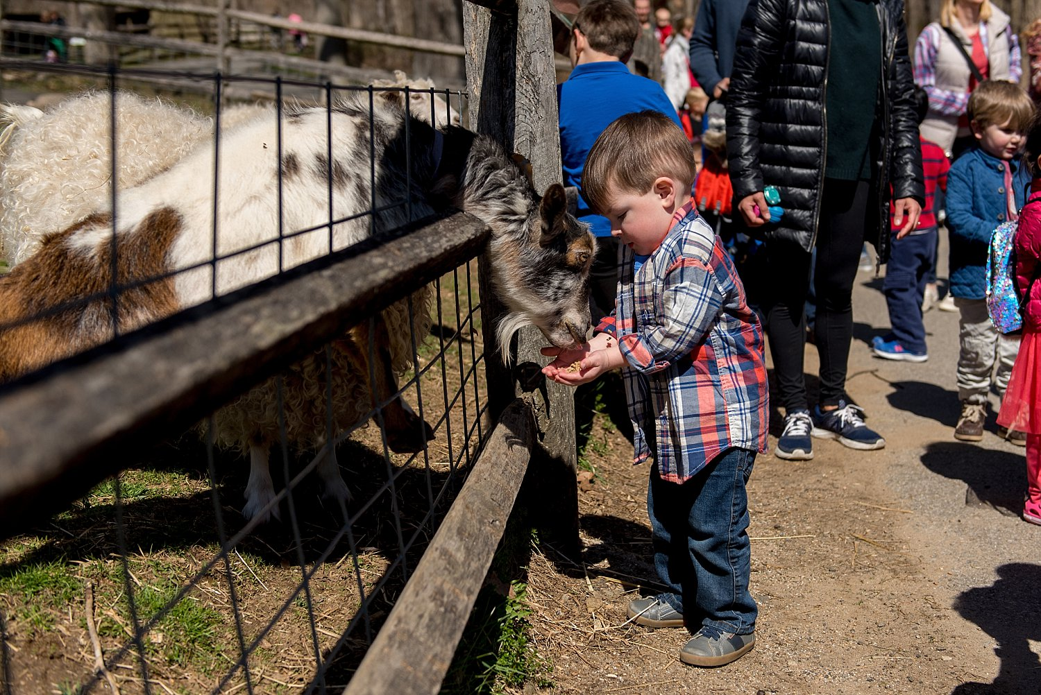 Birthday boy feeding a goat at Stamford Nature Center. CT family photographer