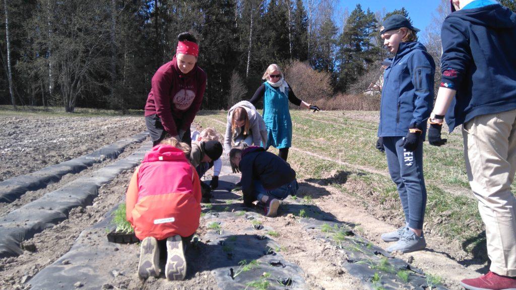 Fenkolin istutusta kuudesluokkalaisten kera