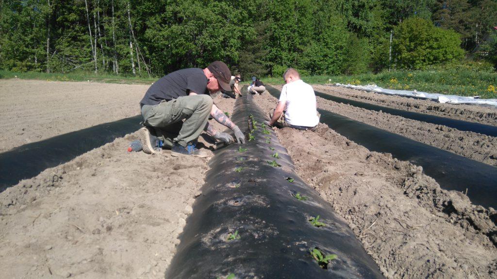 Pinaatin istutusta biokalvopenkkeihin