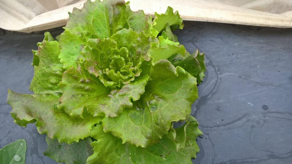 Batavia salaatti 9.6.