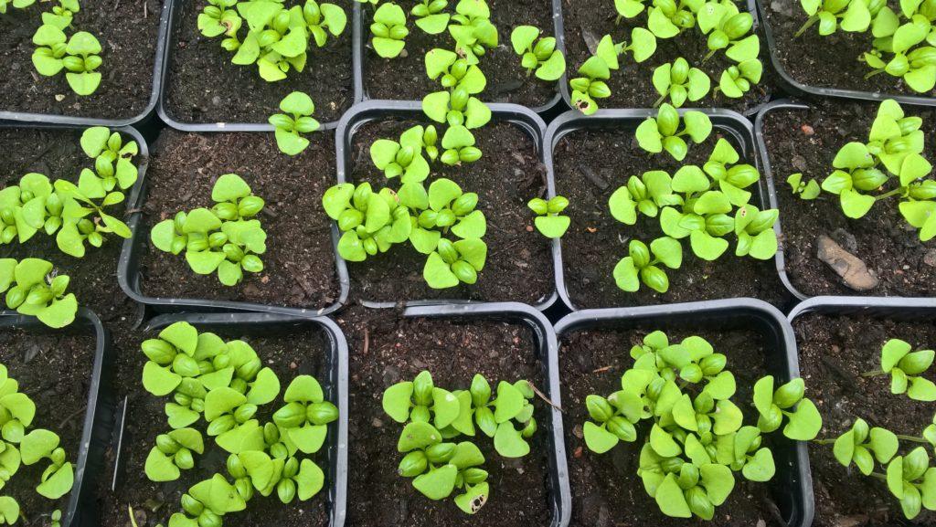Omat basilikan taimet