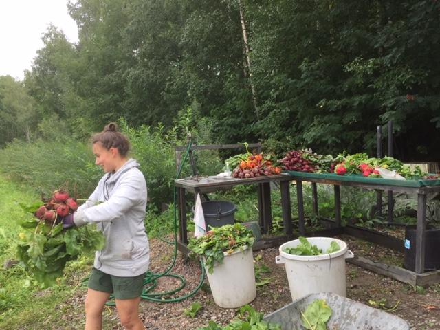 Pellon harjoittelija Saaga & kesän väriset juurikkaat