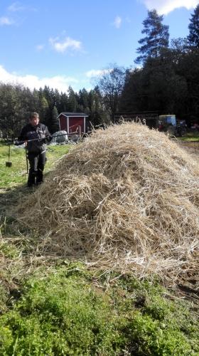 Komposteja hoidetaan pellolla yhteisvoimin, sillä kasvijätteet, aivan kuten lantakompostikin, halutaan saada käyttöön maanparannusaineena tulevina vuosina! Tässä kasvijätekomposti saa kuivaheinäkerroksen kuivikkeekseen.