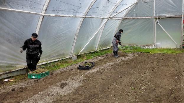 Harjoittelijat kitkemässä ja möyhentämässä kasvihuonetta kylvökuntoon.