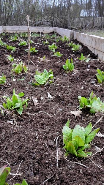 Viime vuonna rakennetun viljelylaatikon kevätkunto kitkennän jälkeen. Tarhasuolaheinät kasvavat kohisten!