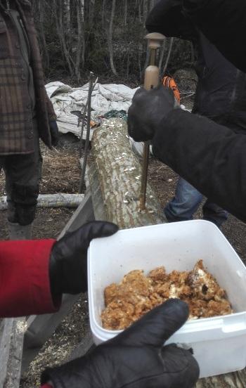 ..Ja sitten reikiin laitettiin sienirihmastoa, joka lopuksi peiteltiin mehiläisvahalla kosteuden säilyttämiseksi. Sitten vain odotellaan, että rihmasto ottaa valtaansa koko pölkyn ja alkaa tuottaa tuottaa hedelmää!