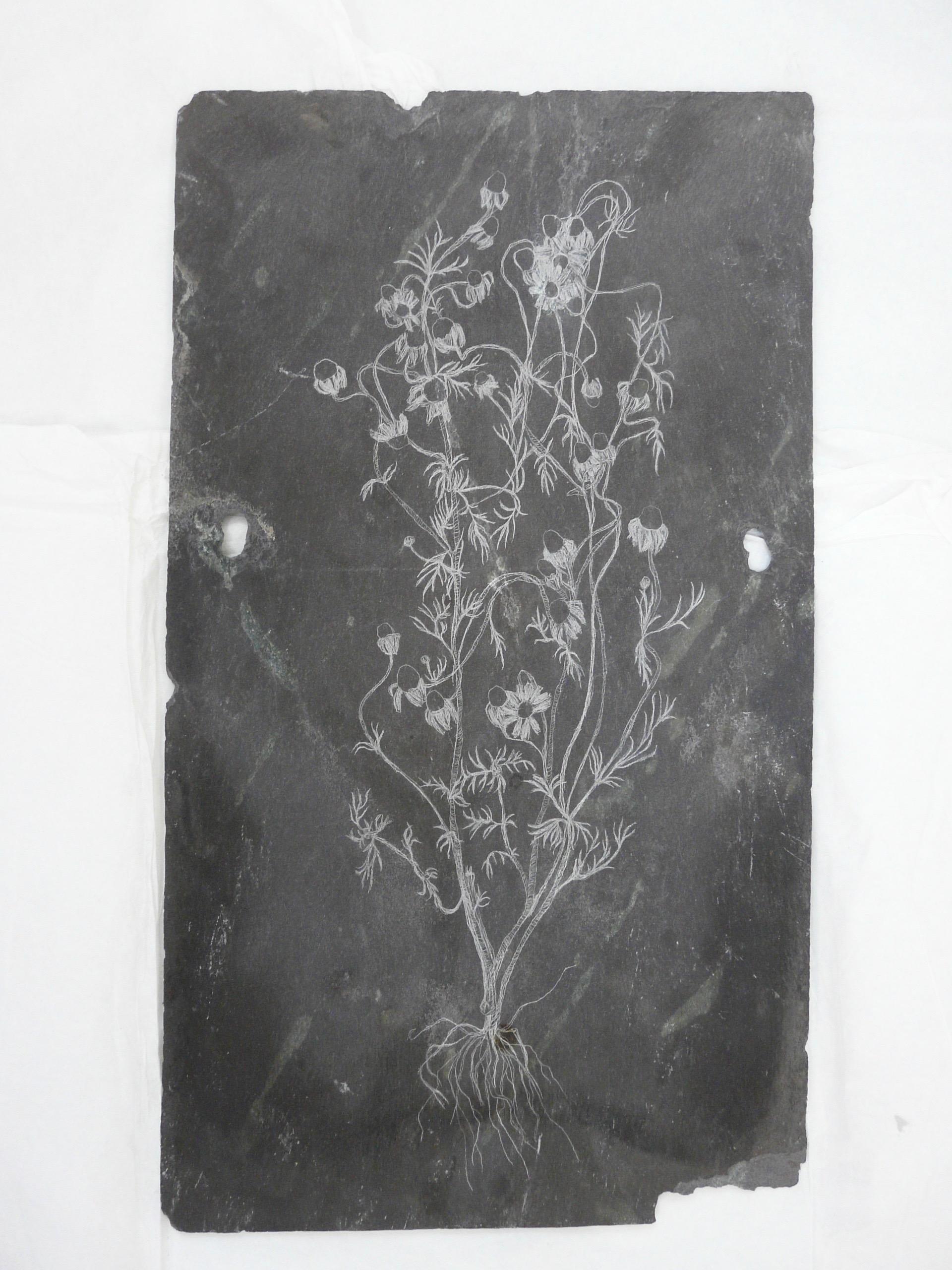 Chamomile, Slate Engraving.