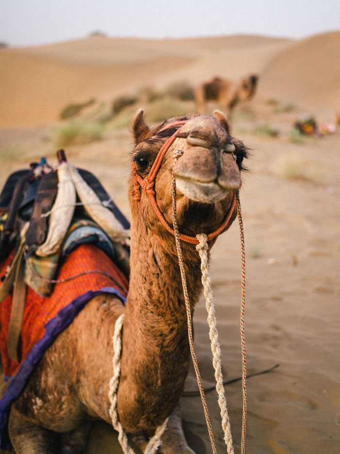 One of the camels.