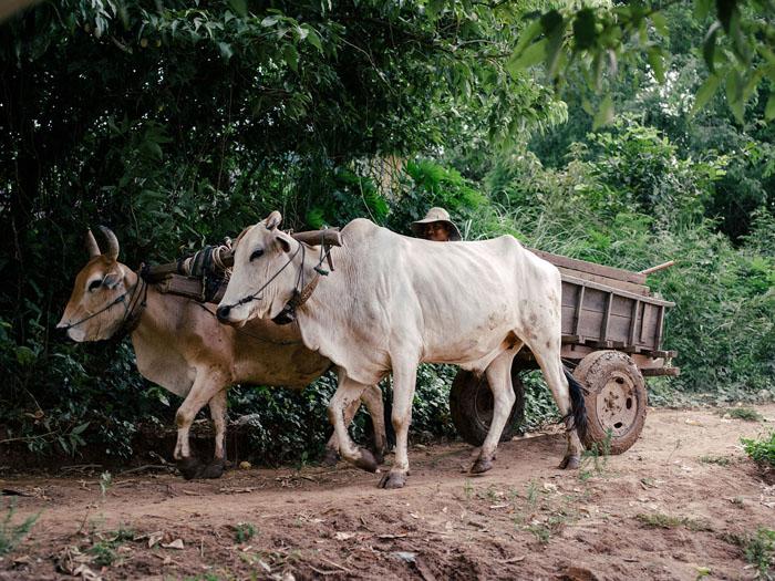 Buffalo cart.
