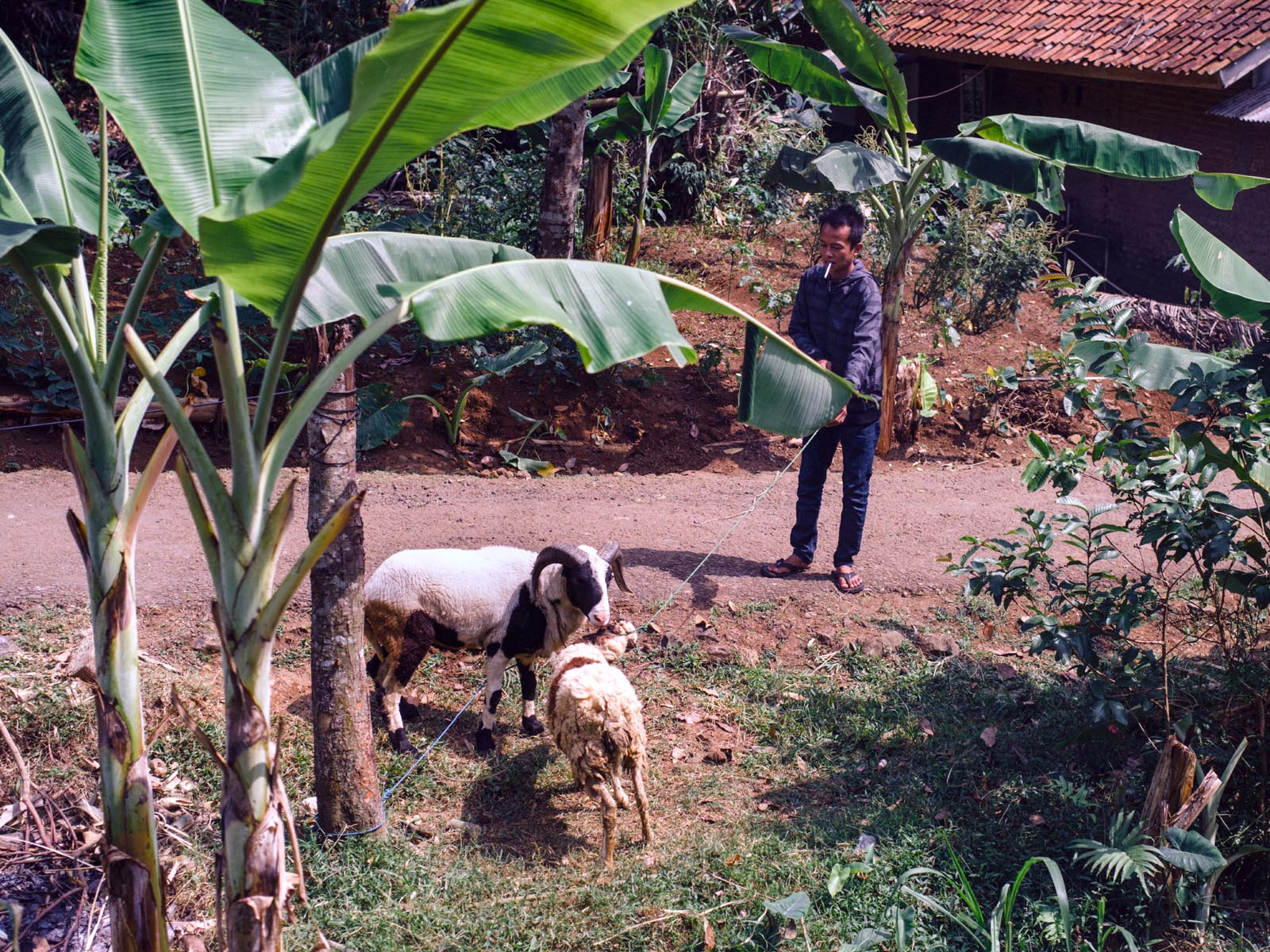 Man with sheep.