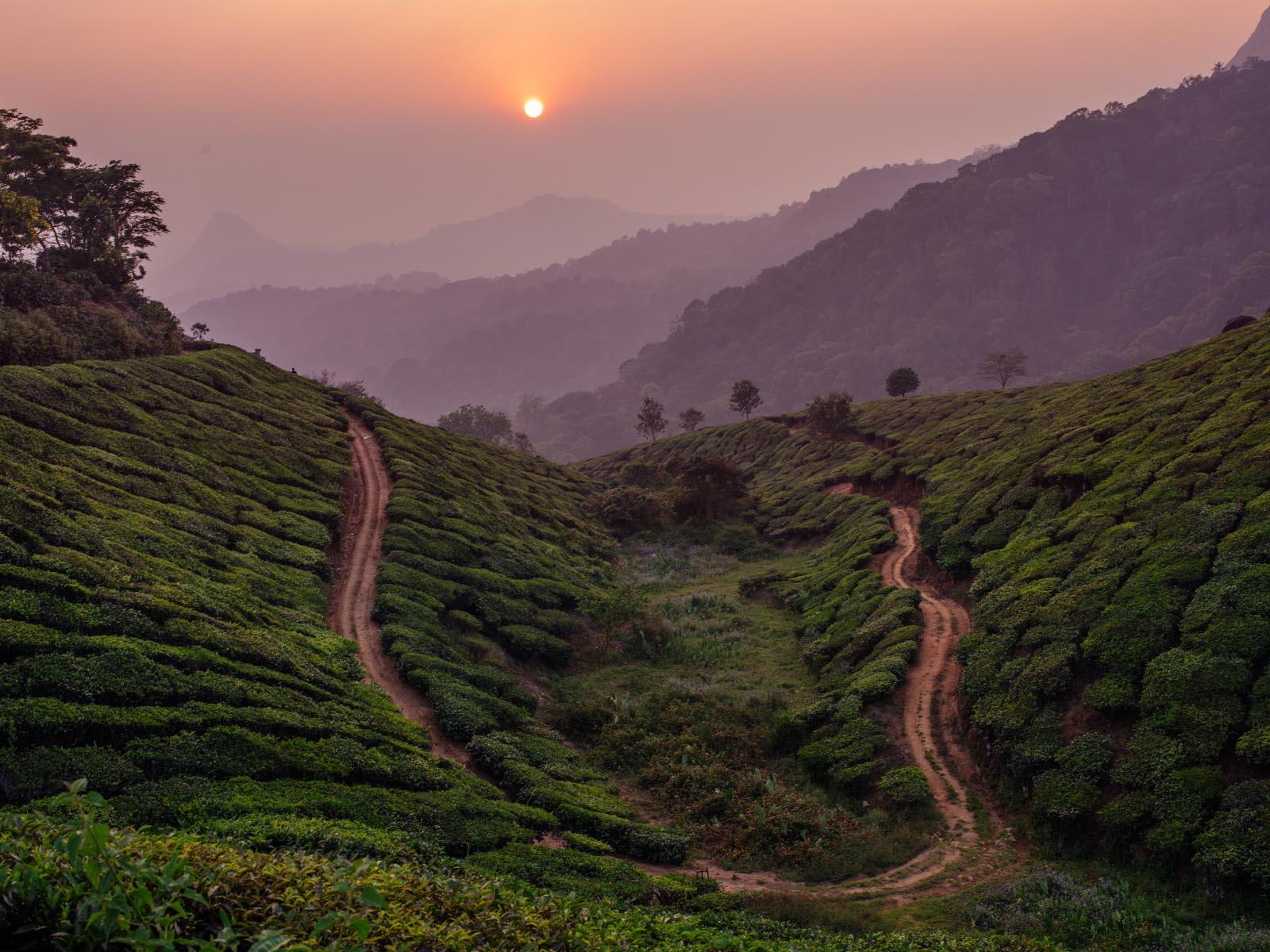 The tea gardens of Munnar.