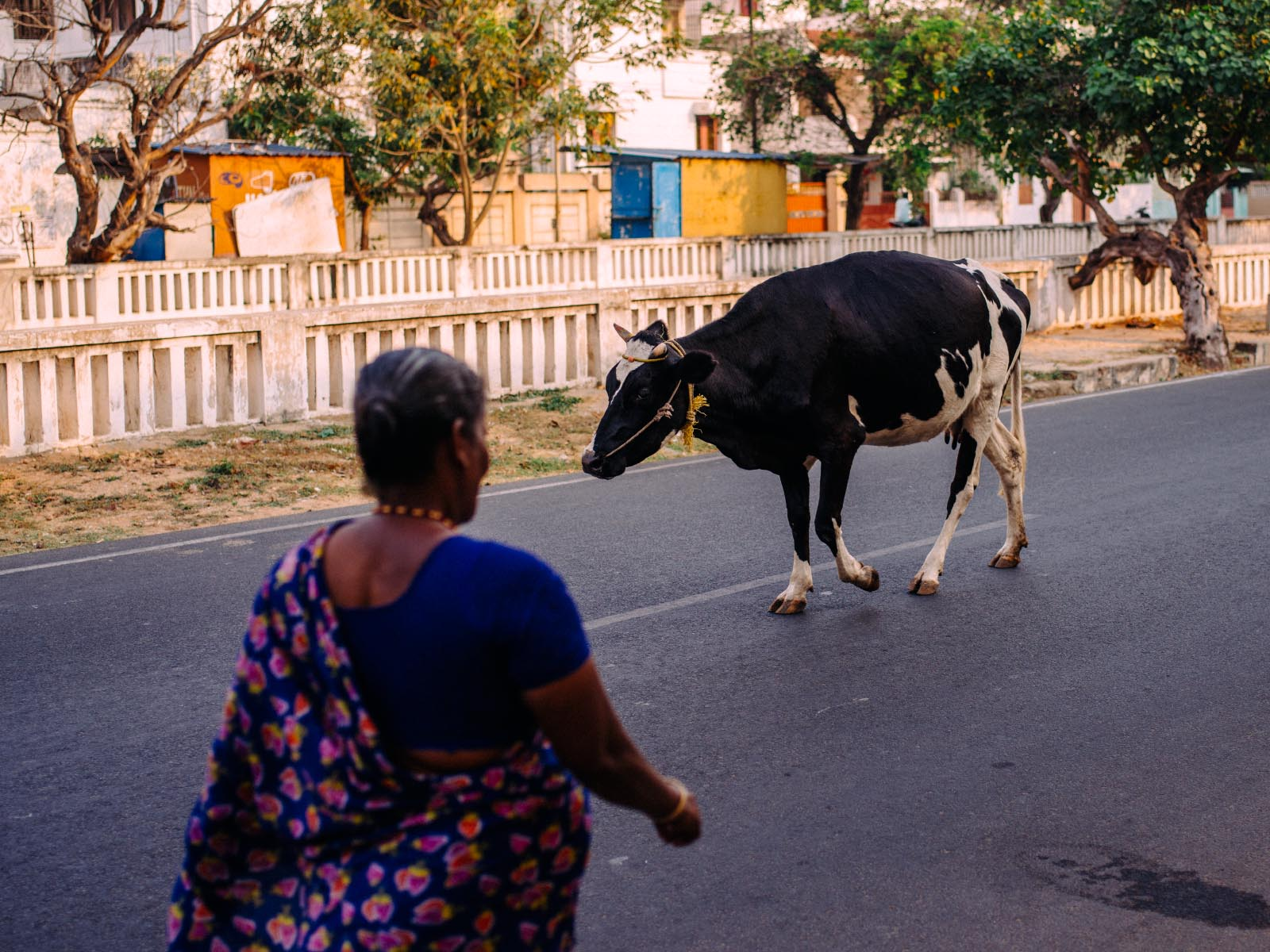 India travel photography? You're going to shoot a lot of cows!