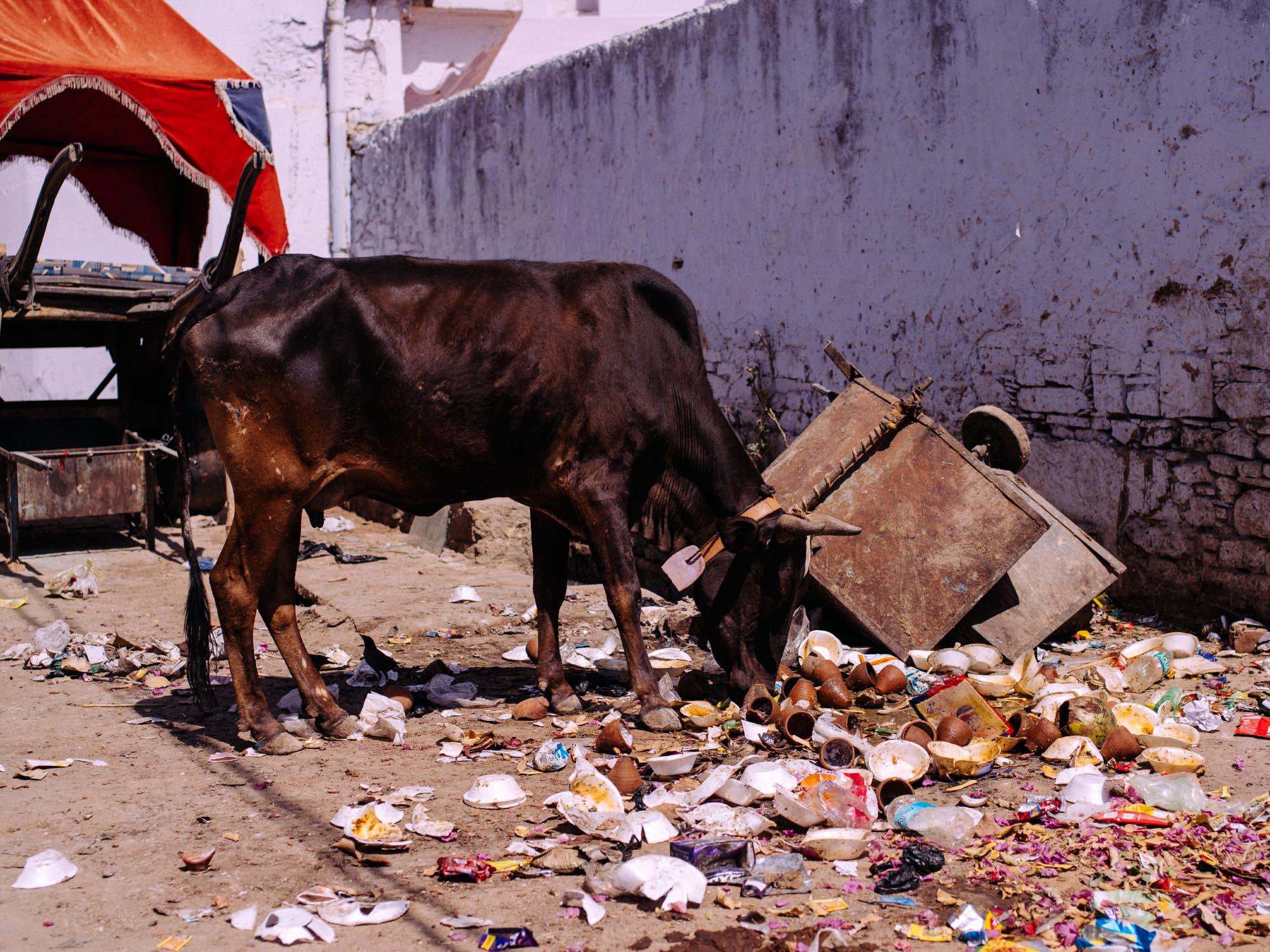 Poor cows end up eating trash.