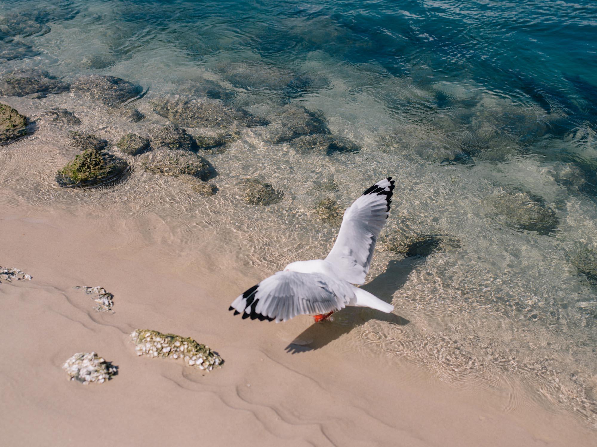 Seagull, Gold Coast.
