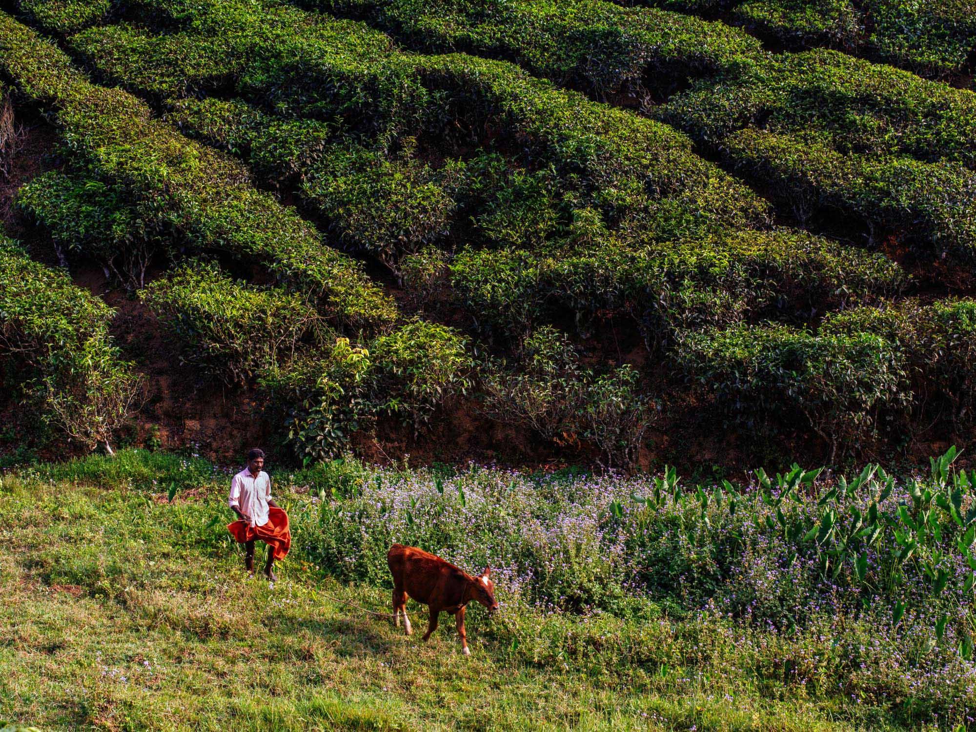 Munnar, India.