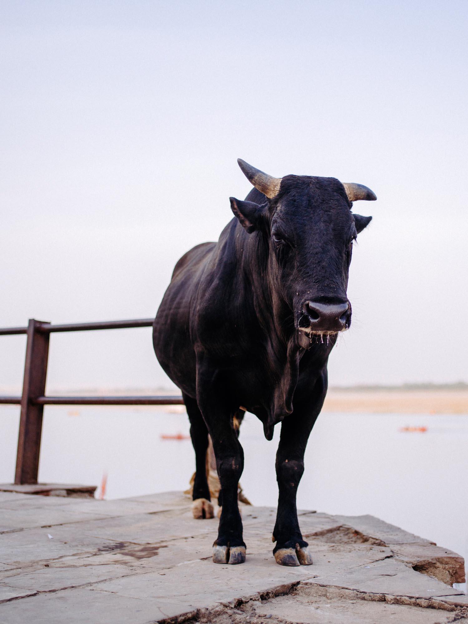 One of many bulls.