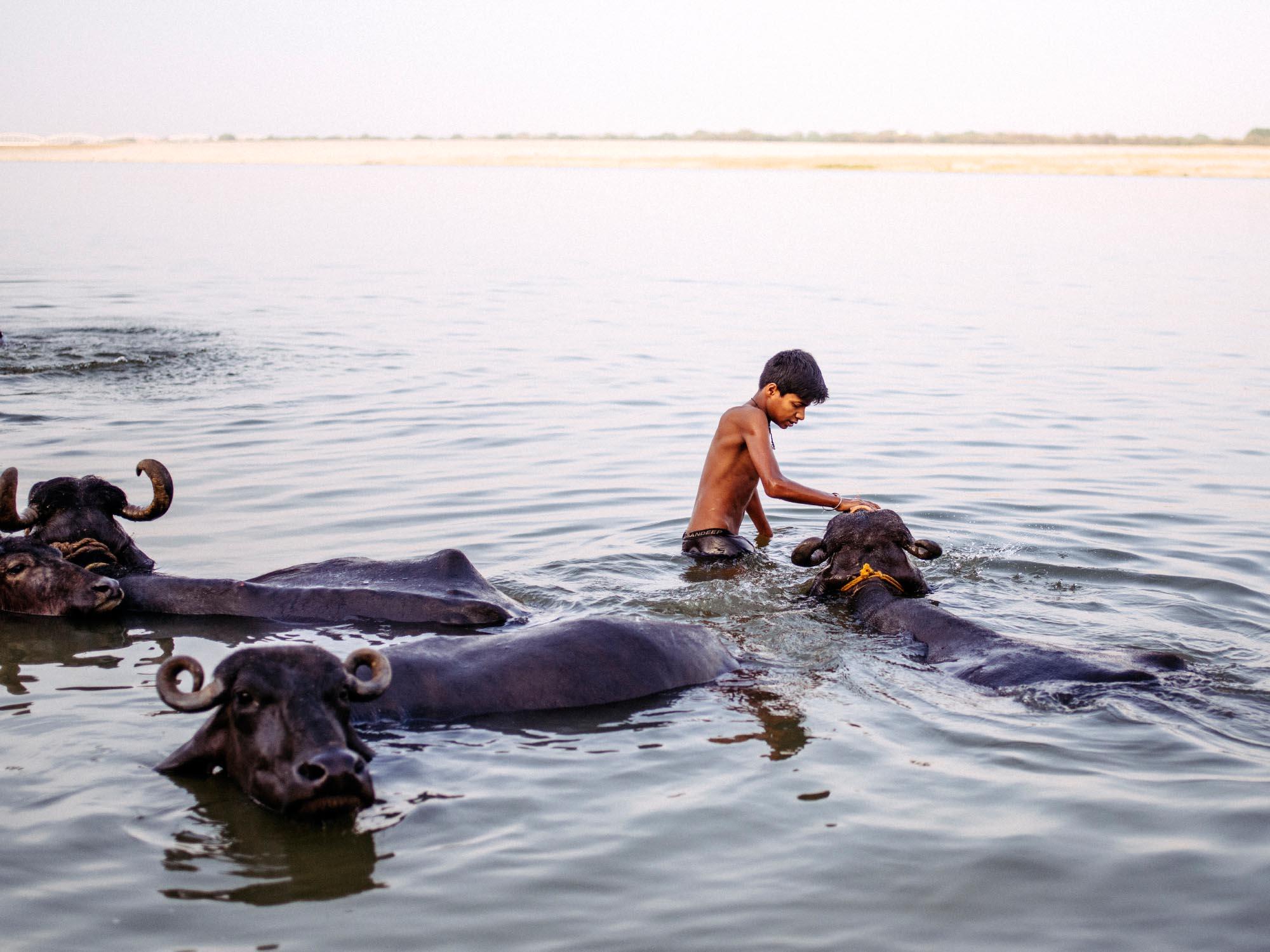 Boy washing and grooming buffalos.