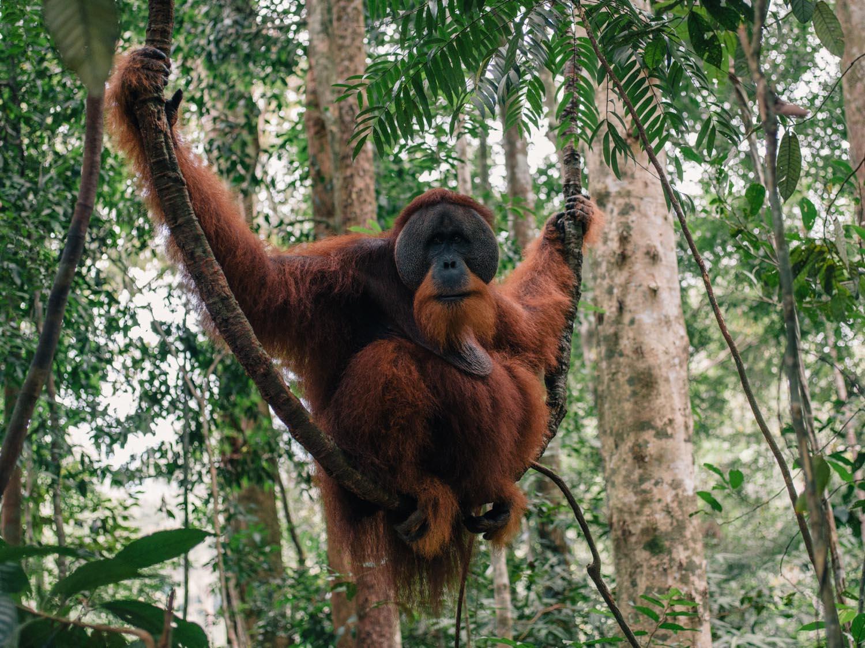Orangutan in Bukit Lawang.