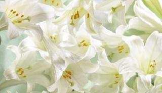 easter-lilies_0.jpg