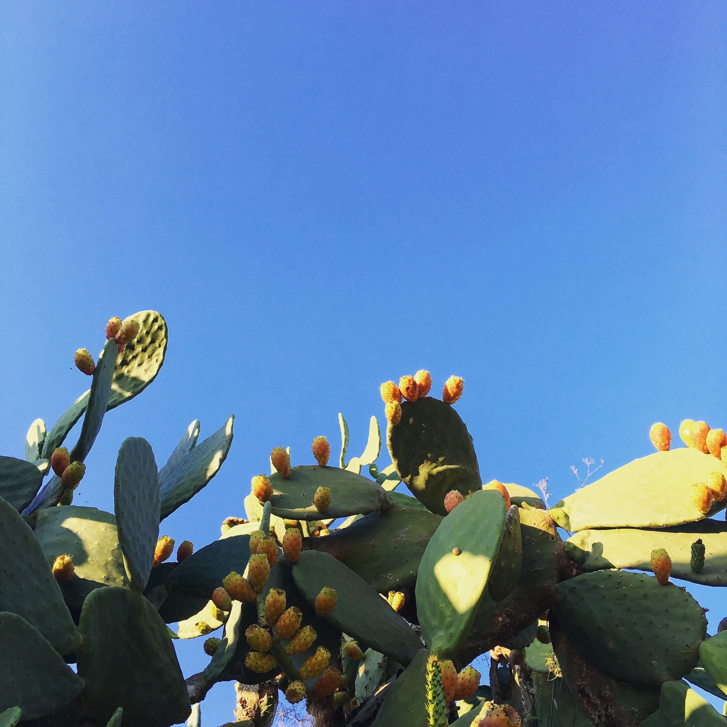 Lozidaze_Malta-Prickly-Pear_01