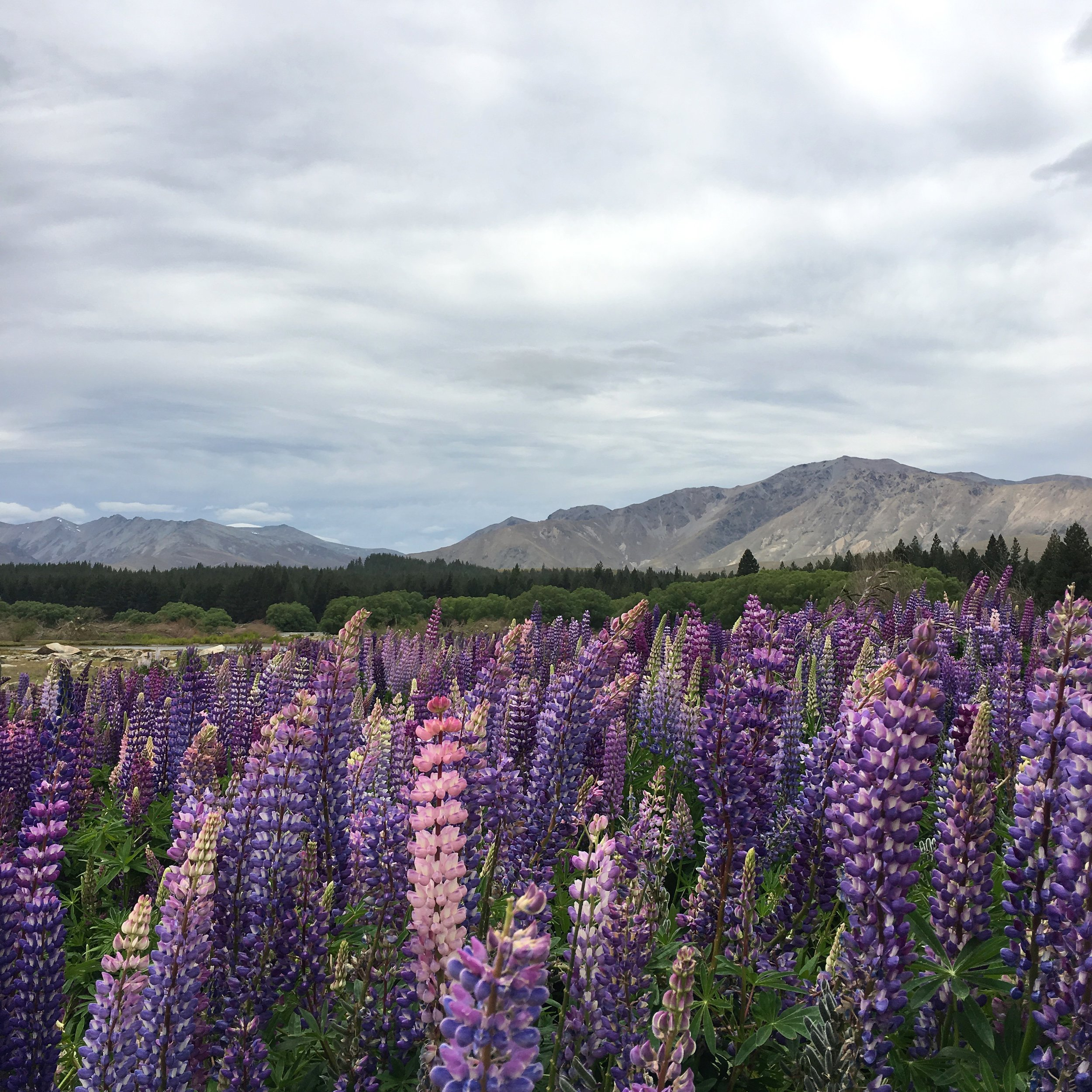 Lozidaze_NZ_Lake-Tekapo-Lupines_01