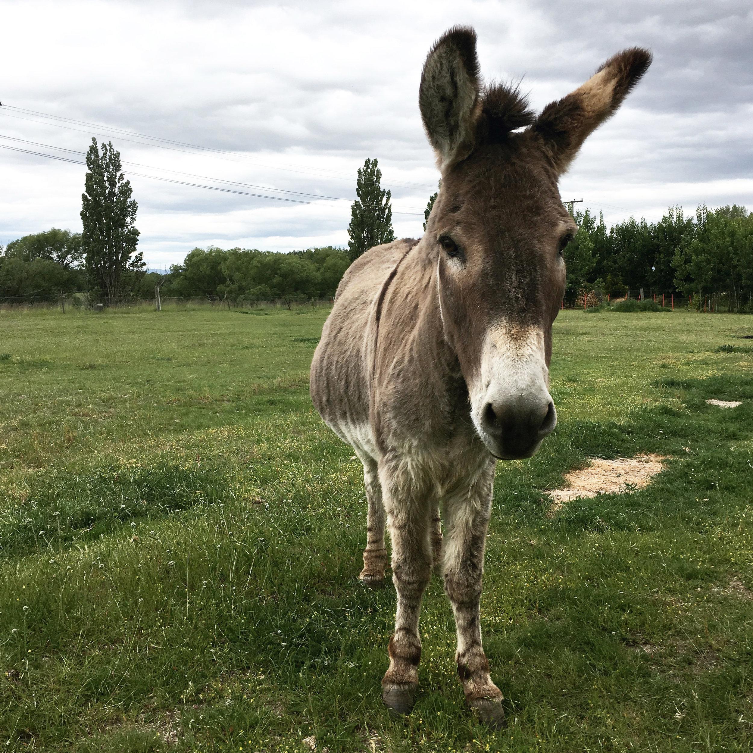 Lozidaze_NZ_Twizel-donkey_01