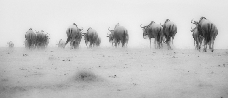 Wildebeest Study 02